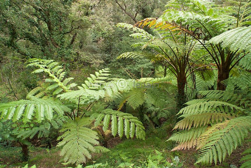 France, Domaine du Rayol : le jardin tasmanien et néozélandais, ici le vallon aux fougères arborescentes (Dicksonia et Cyathea) //  France, Domaine du Rayol :The tasmanien or newzealand garden , here the valley with tree ferns (Dicksonia and Cyathea)