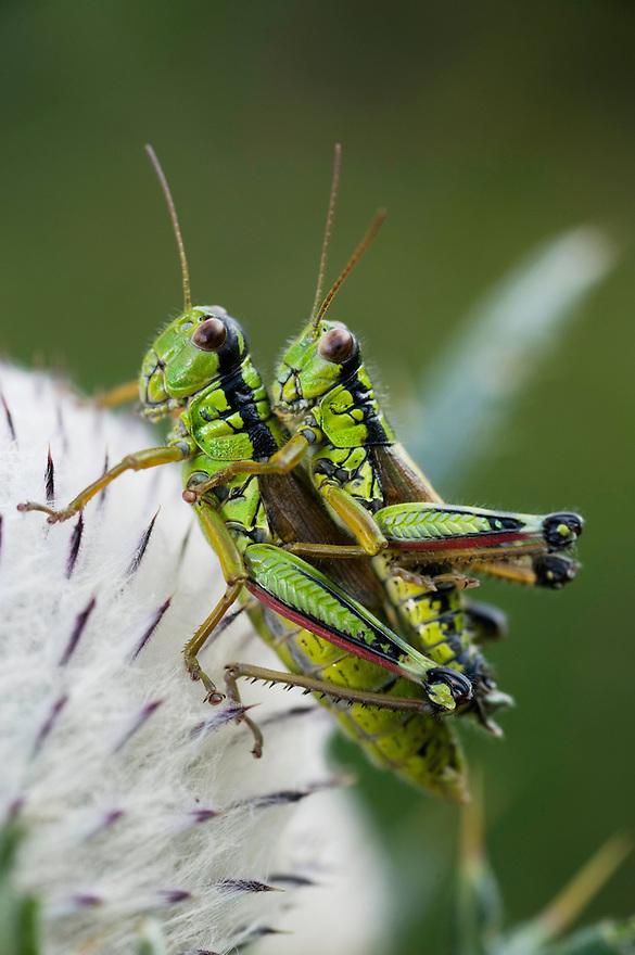 Alpine grashopper (Miramella alpina) on a thistle, mating<br /> Triglav National Park, Slovenia<br /> August 2009