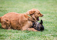 Archer the Border Terrier puppy playing with Golden Retriever at Princes Park, Melbourne, October 2015