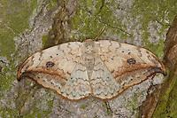 Heller Sichelflügler, Gemeiner Sichelflügler, Birkensichler, Weiden-Sichelspinner, Drepana falcataria, pebble hook-tip, hooktip, Sichelflügler, Drepanidae, hooktip moths