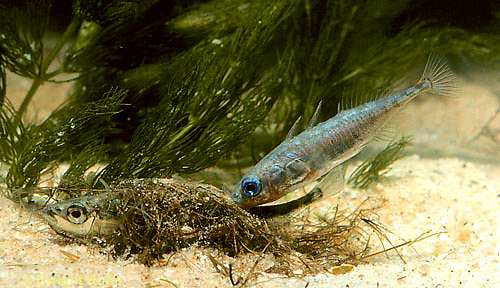 1S50-003z  Three Spined Stickleback - female in nest, male prodding tail to cause her to lay eggs - Gasterosteus aculeatus