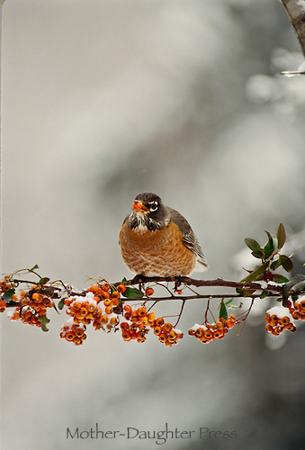 American Robin with pyracantha berry in his mouth perched on on branch