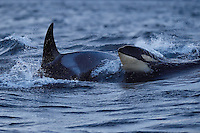 Whale and orca, Norway