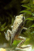 FR17-003d  Spring Peeper Tree Frog - tadpole developing into frog, losing tail, legs developed -  Pseudacris crucifer, formerly Hyla crucifer