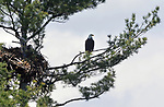 Eagle pirched near it's nest in a tree overlooking the Reservoir at the Ashokan Reservoir area near Olivebridge, NY, on Friday, May 12, 2017.. Photo by Jim Peppler. Copyright Jim Peppler/2017.