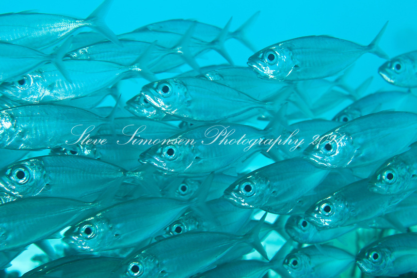 Bigeye Scad (Selar crumenophthalmus)<br /> U.S. Virgin Islands