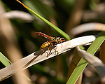 Western Yellow Jacket queen, Wasp, Southern California