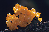 Goldgelber Zitterling, auf Totholz, Tremella mesenterica, Tremella lutescens, yellow brain, golden jelly fungus, yellow trembler, witches' butter