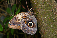 Owl Butterflies (Caligo memnon) are large, tropical butterflies found in secondary forests and rainforests from Mexico down to the Amazon in South America.