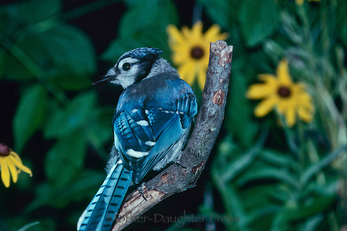 Blue jay, Cyanocita cristata,  turns while perched on stick framed by black eyed susans