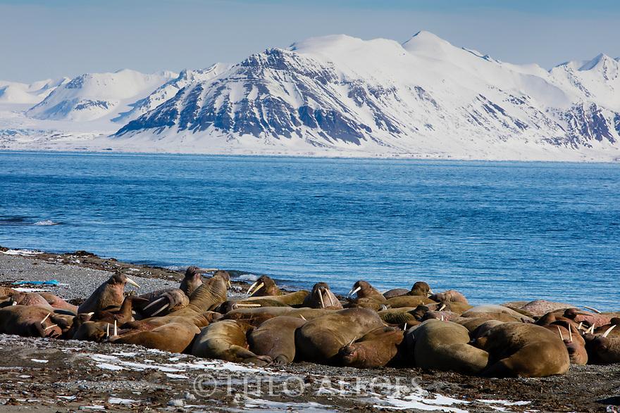 Norway, Svalbard, large group of walruses on shore, Odobenus rosmarus