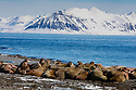 Norway, Svalbard, large group of walruses on shore, Odobenus rosmarus
