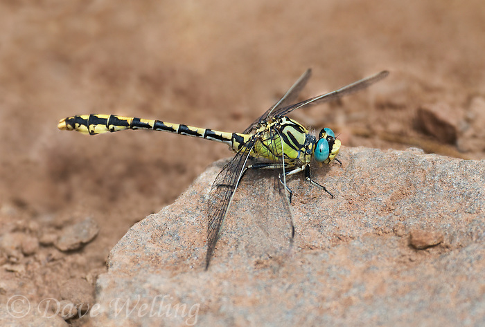 389690015 a wild male great basin snaketail ophiogomphus morrisoni perches on a rock along ash creek lassen county califonria