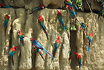 Red & Green Macaws, Ara Chloroptera, at salt clay lick, Manu, Peru, Amazonian Jungle, group feeding on salt nutrients which helps with diet of toxic fruits. .Peru....
