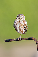 Burrowing owl (Athene cunicularia) standing on a metal perch