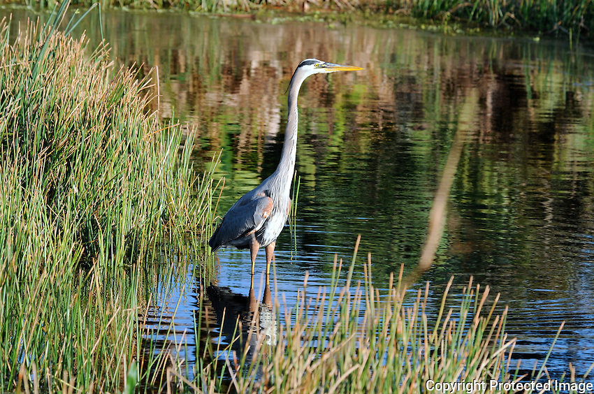 Great Blue Heron wading in a canal  with a magnificent reflection of surrounding colorful trees and foliage. Photographed at Green Cay Wetlands, Boynton Beach, Florida.