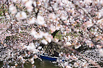 Sightseers aboard rowing boats enjoy a cup of wine amid the cherry trees that line the moat of Chidorigafuji in Tokyo, Japan on 30 March, 2010. Snow and unusually cold weather has delayed the blossoming of Japanese cherry trees throughout the country.