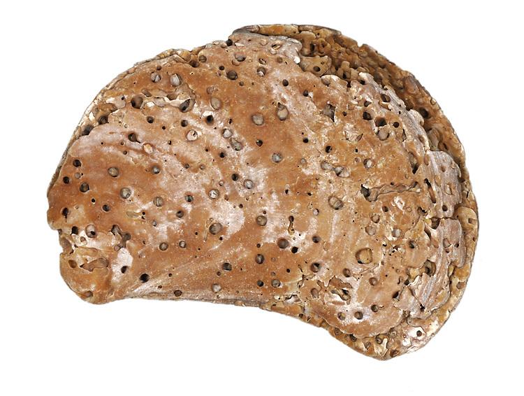 Boring Sponge - Cliona celata