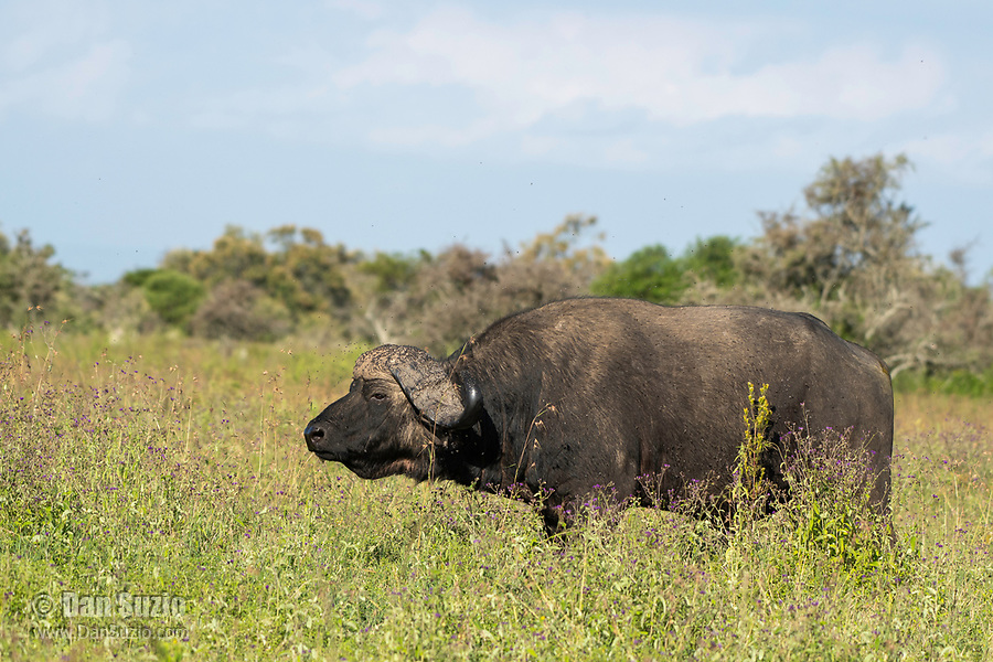Flies swarm around the horns of a Cape Buffalo, Syncerus caffer caffer, in Lake Nakuru National Park, Kenya.