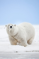 Adult female polar bear stands in the snow on an island in the Beaufort Sea on Alaska's arctic coast.