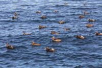 Eiderente, Eider-Ente, Trupp, Schwarm, Meeresente, Meeresenten, Somateria mollissima, common eider, eider, L'Eider à duvet