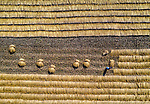 Aerial photos of rice fields reveal the array of patterns created by rows of paddy plants, making the landscape look almost like a patchwork quilt.  Amongst the rows of crops, two workers can be made out working the fields under the hot sun.<br /> <br /> Photographer Abdul Momin captured the shots with a drone 700ft above the fields in Panchagarh, northern Bangladesh.  SEE OUR COPY FOR DETAILS.<br /> <br /> Please byline: Abdul Momin/Solent News<br /> <br /> © Abdul Momin/Solent News & Photo Agency<br /> UK +44 (0) 2380 458800
