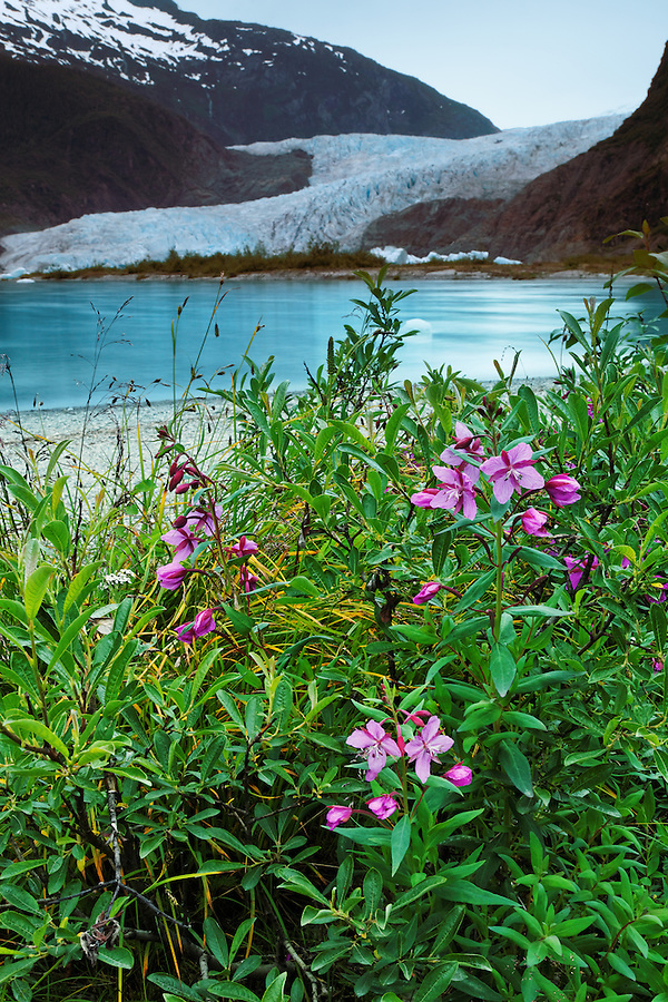 Fireweed at shore of Mendenhall Lake and Mendenhall Glacier, Juneau, Alaska, USA