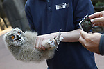 Foto: VidiPhoto<br /> <br /> ARNHEM - Het in 2016 jaar bij toeval ontdekte wilde oehoe-paar in Burgers' Zoo in Arnhem, heeft dit jaar drie jongen uitgebroed. Woensdagavond werden ze geringd, gewogen en opgemeten. Het gaat om twee vrouwtjes en &eacute;&eacute;n mannetje. De dieren zijn kerngezond. Volgens oehoe-expert Gejo Wassink komt dat doordat de ouders gebruik maken van een welvoorziene dis. In het dierenpark en omgeving zijn houtduiven, kraaien, ratten en egels -het menu van oehoe's- ruim voldoende aanwezig. Het broedpaar werd in 2016 bij toeval ontdekt en voelt zich inmiddels prima thuis in het dierenpark. Het zijn de enige wilde dieren die vrijwillig hebben gekozen voor de Arnhemse dierentuin. Voorzover bekend is Burgers&rsquo; Zoo de enige dierentuin waar oehoe&rsquo;s in het wil leven. Inmiddels zijn er 26 oehoeplekken in Nederland, een nieuw record. Omdat het goed gaat met oehoe's en Duitsland en Belgi&euml;, gaan jonge uilen op zoek naar nieuwe territoria in Nederland. De oehoe is de grootste uilensoort die in Europa voorkomt.
