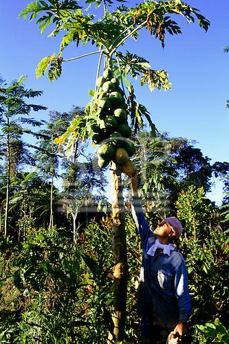 Juruena, Brazil. Man picking a mamao (Carica papaya, pawpaw) fruit at the Pro-Natura experimental station.