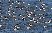 Pochard Aythya farina L 42-49cm. Distinctive diving duck with long bill, curving forehead and peaked crown. Gregarious in winter, often with Tufted Ducks. Both sexes have dark bill with pale grey band. In flight, all birds have uniform grey wings with dark trailing edge to outer flight feathers. Sexes are dissimilar in other regards. Adult male has reddish orange head, black breast, finely marked grey flanks and back, and black stern. In eclipse, black elements of plumage are sooty brown. Adult female has brown head and breast, grey-brown back and flanks, and pale 'spectacle'. Juvenile resembles adult female but plumage is more uniformly brown. Voice Mostly silent. Status Scarce breeder but locally common in winter: migrants arrive from mainland Europe. Favours flooded gravel pits, reservoirs and lakes.