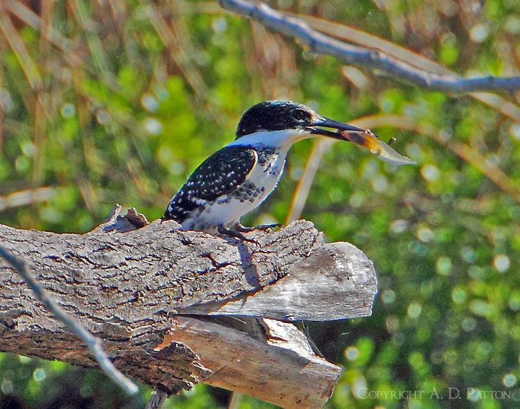 Female green kingfisher with catch