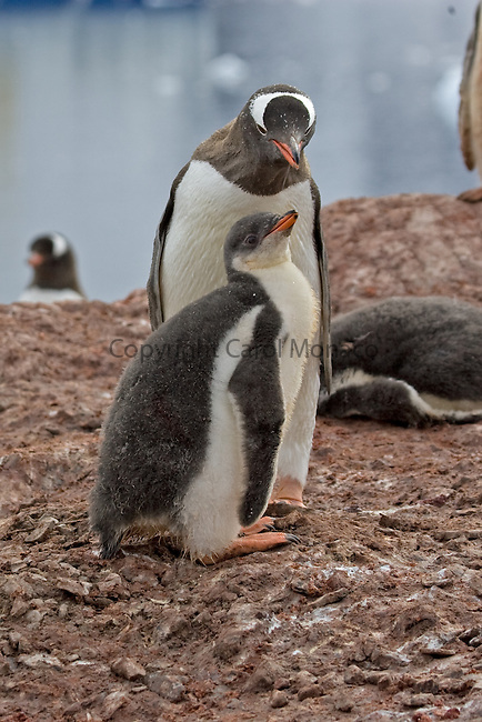 Gentoo penguin and chick in Antarctica