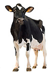 Holstein cow, photo that can be cut out. Three-quarter view