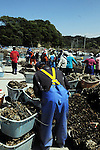 May 25th, 2011, Matsushima, Japan - Oyster growers of the Matsushima Bay area prepare seed oysters for planting in the cove dotted with the chain of limestone islands, some 300km northeast of Tokyo, on Wednesday, May 25, 2011. The oyster growers of the bay area lost all but 10 per cent of their breeding stock when the tsunami hit one of Japans most scenic sites on March 11 following a magnitude 9 earthquake that devastated much of the northeastern region. (Photo by Kaku Kurita/AFLO) [3618] -mis-
