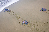 Two young Green Sea Turtles and one young Hawksbill Sea Turtle are released on a beach in fornt of observers from the local community. Chelonia mydas. Eretmochelys imbricata. Playa Negra, Costa Rica.