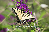 03023-02911 Eastern Tiger Swallowtail Butterfly (Papilio glaucus) on Butterfly Bush (Buddleia davidii), Marion Co., IL