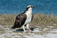 Osprey Pandion haliaetus W 145-160cm. The classic fish-eating raptor. Can look gull-like in flight but fishing technique is unmistakable: hovers, then plunges talons first into water. Sexes are similar. Adult has mainly brown upperparts, except for pale crown; underparts are mainly whitish with darker chest band. In flight from below, looks pale overall with dark carpal patches, dark band along base of flight feathers and dark terminal band on barred tail. Juvenile is similar to adult but darker markings are less distinct. Voice Utters various whistling calls. Status Migrant visitor, seldom seen far from water even on migration. Nests close to large waterbodies, mainly in N. Breeding range is gradually extending S; also introduced in places (notably Rutland Water). Passage migrants sometimes linger for a few days at fish-rich lakes and flooded gravel pits.