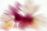 A blurred composition of alstroemeria flowers