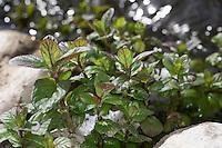 Wasser-Minze, Wasserminze, Blätter vor der Blüte, Minze, Mentha aquatica, Horsemint, Water Mint, Menthe aquatique