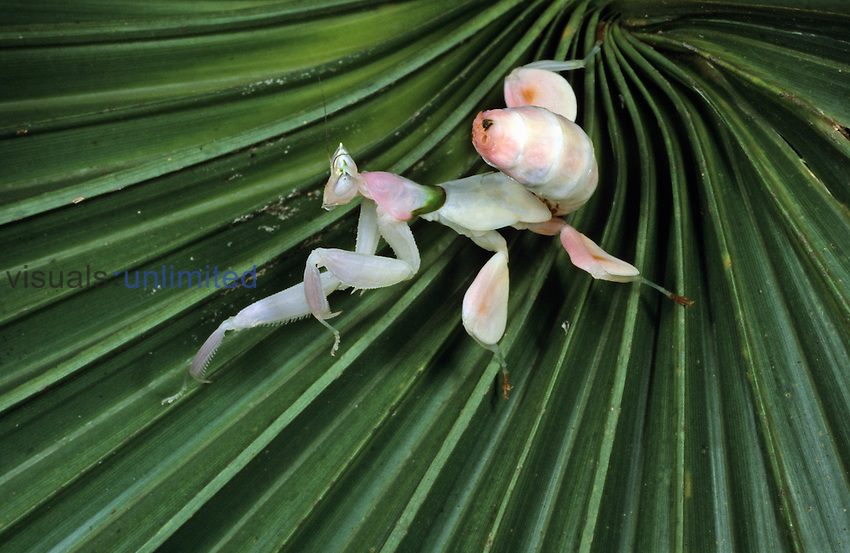 The tropical Orchid Mantis (Hymenopus coronatus) blends in with the pale whitish-pink color of certain orchid blooms. It has evolved wide leafy legs and a swaying manner of movement, structural and behavioral adaptations that aid in its concealment. Native to Indonesia, this individual in its last immature or nymphal stage was bred in captivity. Here it has been placed on a contrasting background to highlight the extreme morphological modifications.