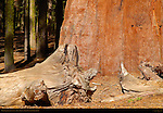 Giant Sequoia Bark Detail, Sequoiadendron giganteum, Grant Grove in Autumn, King's Canyon National Park