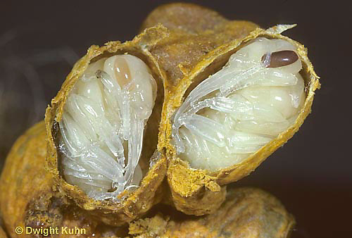 BU13-003d  Bumblebee - pupae in wax cell, nearly fully developed  - Bombus impatiens