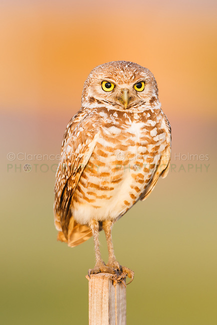 Burrowing owl (Athene cunicularia) standing on a T-perch in Cape Coral, Florida.