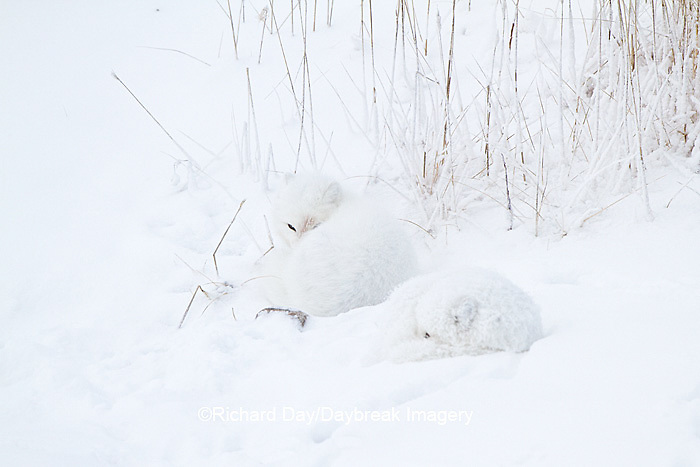 01863-01510 Arctic Foxes (Alopex lagopus) curled up along bank in snow Churchill Wildlife Management Area, Churchill, MB