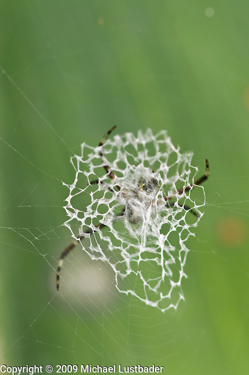 """Doily"" Spider in Rainforest"