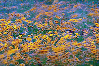 Field of  black-eyed Susans blowing in the wind