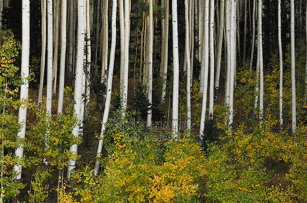 Aspen grove with fall colors, Uncompahgre National Forest, Colorado, USA