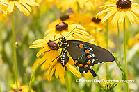 03004-01603 Pipevine Swallowtail (Battus philenor) on Black-eyed Susans (Rudbeckia hirta) Marion Co. IL