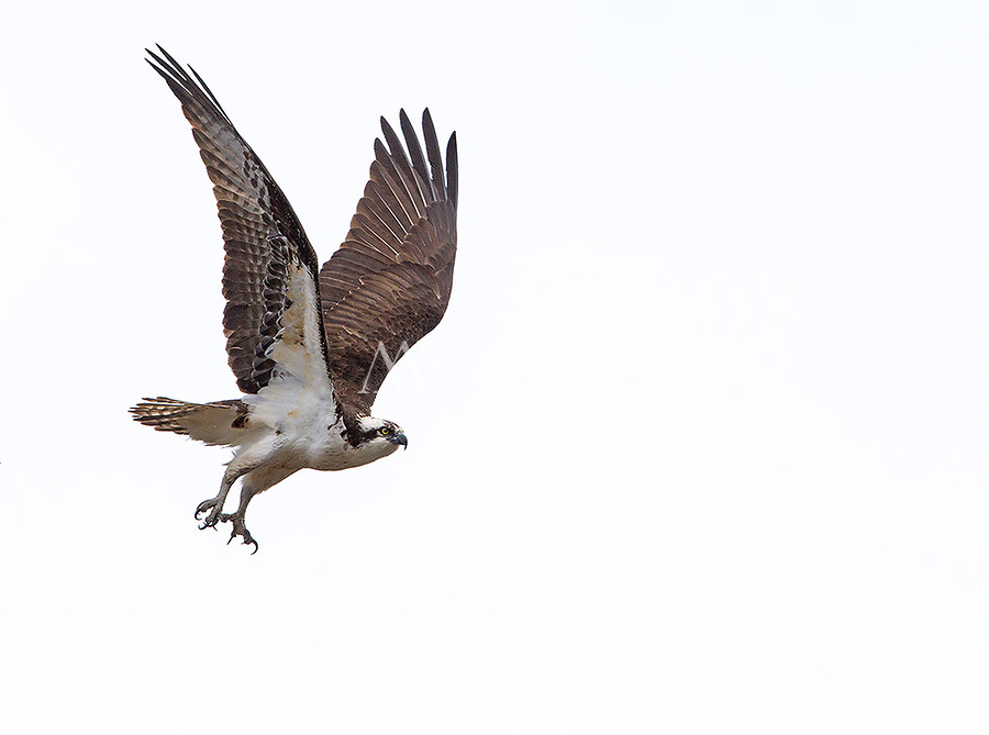 An osprey takes off on a cloudy day.