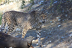 Cheetah walking at the Living Desert